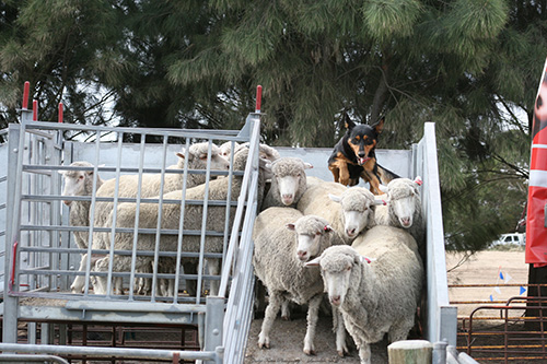 SA Yard Dogs - Unloading Sheep in action